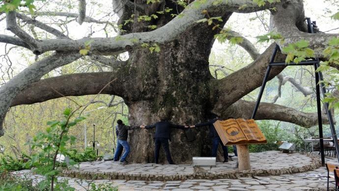 الشجرة المعمرة | بورصا